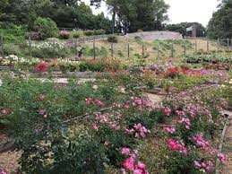 berkeley rose garden may 5 2016