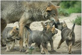 many wolves에 대한 이미지 검색결과