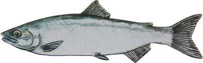 pic of fish. Wonderful Pic Kokanee With Pic Of Fish