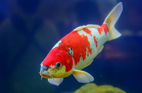 a guide to koi and other pond fish varieties