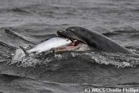 killer whales eating dolphins. Moonlight The Bottlenose Dolphin Eating Salmon Throughout Killer Whales Dolphins