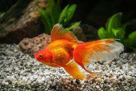 「金魚」の画像検索結果