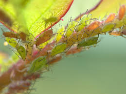 get rid of aphids on plants
