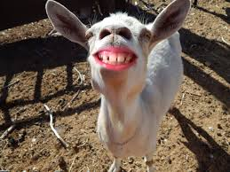 funny smiling goat smiling funny goat pictures with captions keep smiling happy birthday cheering you up make you laugh picture by