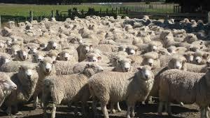 Risultati immagini per pecore