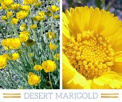 desert plants with names.  Names Desertmarigold With Desert Plants Names T