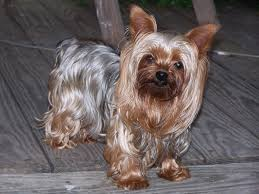 a silver blue and pale cream yorkshire terrier the fine straight silky coat is considered hypoallergenic
