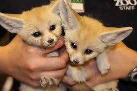 newborn fennec fox. Beautiful Newborn Fennec1201536 To Newborn Fennec Fox O