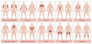 Muscle Groups Chart
