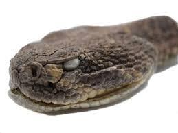 rattlesnake head striking.  Rattlesnake Real Rattlesnake Head Closed Mouth And Striking R