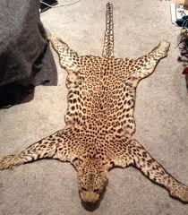 antique taxidermy leopard skin rug 19th c rare specimen natural history pre1947 animals collection on best leopard skin rugs