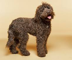 Small Picture Labradoodle Dog Breed Information Pictures Characteristics