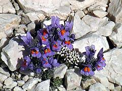 Linaiola alpina [Linaria alpina]