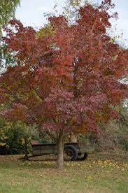 tree with red leaves and a wooden wagon sitting behind it