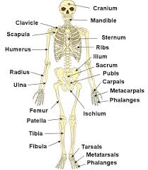 human body bones labeled   aof comthe human skeletal system labeled aof