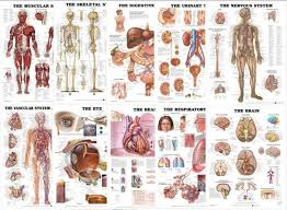 Organs Of The Body Chart Bundle 10 Laminated Charts