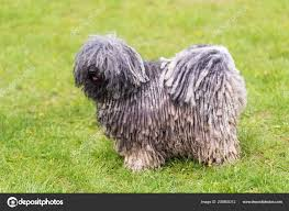 Gray Hungarian Puli Dog Green Park ...