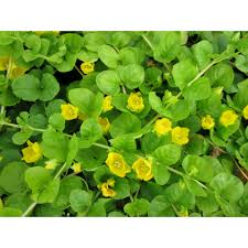 excellent for ground cover and blending in the edge of a pond as it will grow on dry ground and can float across the surface of the water