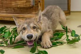 cute baby wolf in the wild. Throughout Cute Baby Wolf In The Wild
