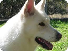 white husky german shepherd mix puppies. Plain Husky Dripping Springs TX  German Shepherd Dog Meet Sauna A Dog For Adoption Inside White Husky Mix Puppies H