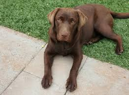 chocolate lab puppies. Contemporary Puppies Elli A Sevenmonthold Pup Was In The Back Yard Of Her La Habra Heights  Home Late Afternoon Friday When Swarm Bees Descended Stinging At Least  Throughout Chocolate Lab Puppies