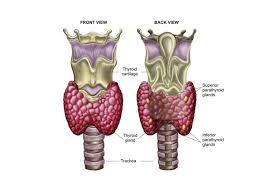 Thyroid Anatomy The Thyroid Gland In The Endocrine System