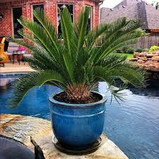 best palms for outdoor containers contemporary image result palm plant full sun potted within 12
