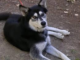 wolf hybrid wolf x husky mix