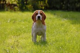 the beagle is a small to um sized hunting dog in the hound group it originated in england as a rabbit hunter and is still one of the most prized