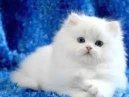 teacup persian cat. Exellent Persian Cats Teacup Persians On Persian Cat E