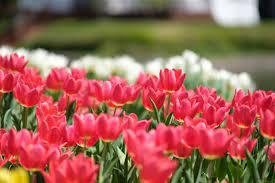 3 月 の 花 とい えば