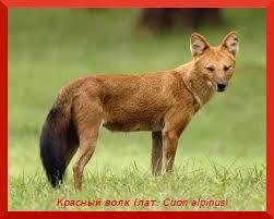 Сообщение о животном из Красной книги Задание по окружающему миру  cuon alpinus