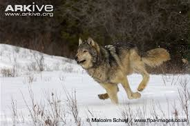 grey wolf size grey wolf photo canis lupus g58562 arkive