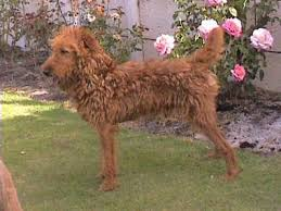 Anluan Irish Terriers