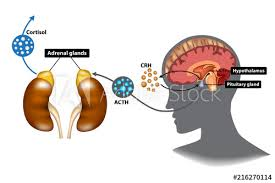 Hpa Axis Hypothalamic Pituitary Adrenal Hpa Axis The Stress Response