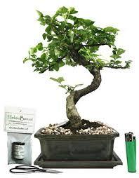 mandarin tree ligustrum ovalfolium indoor bonsai tree gift set m20s 4g