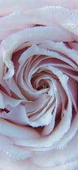 Light pink rose, many water droplets ...