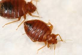 Bedbugs Images Whats Trending In Bed Bugs Pct Pest Control Technology