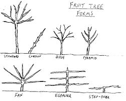 Fruit Tree Forms  PermaWiki  FANDOM Powered By WikiaFruit Tree Shapes