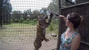 Feeding the tigers at Dubbo Zoo - YouTube