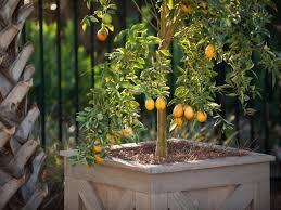 Kumquat Tree With Yellow Leaves And Dark Veins  YatesKumquat Tree Not Bearing Fruit