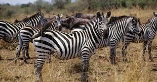 Tafsir Mimpi Melihat Banyak kuda Zebra