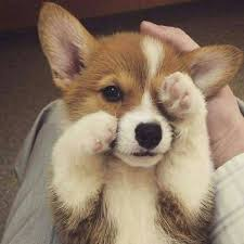 cutest corgi puppy. Exellent Puppy Cute Puppies Images Cute Corgi Puppies Wallpaper And Background Photos Intended Cutest Corgi Puppy