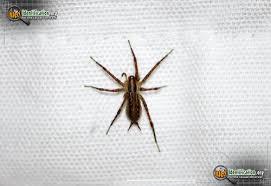 Spider Identification Chart California North American Spiders