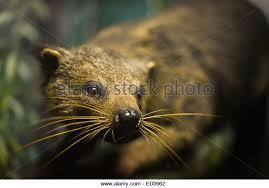 Small Picture Binturong Animal Coloring Pages Binturong Bearcat nebulosabarcom