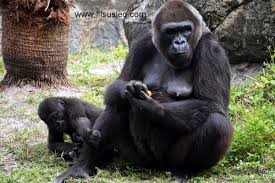 gorilla at busch gardens tampa florida rescue animals lilsusieq myfloridalife inacage elephants bekindtoelephants nature memories happytravels