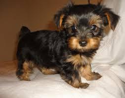 yorkie poo cost yorkiepoo puppies scottsdale az 107210 9259