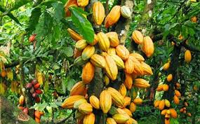 Conservation Alliance, Partners Launch New Cocoa Management Scheme. –  CONSERVATION ALLIANCE