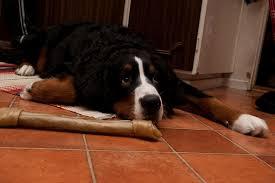 dog is scared to walk on hardwood floors