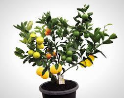 Fruit Salad Tree | Solidaria Garden